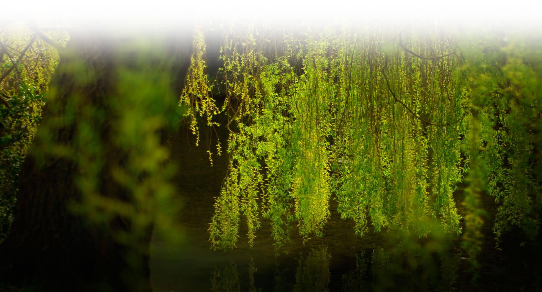 Schwarze Weide - willow