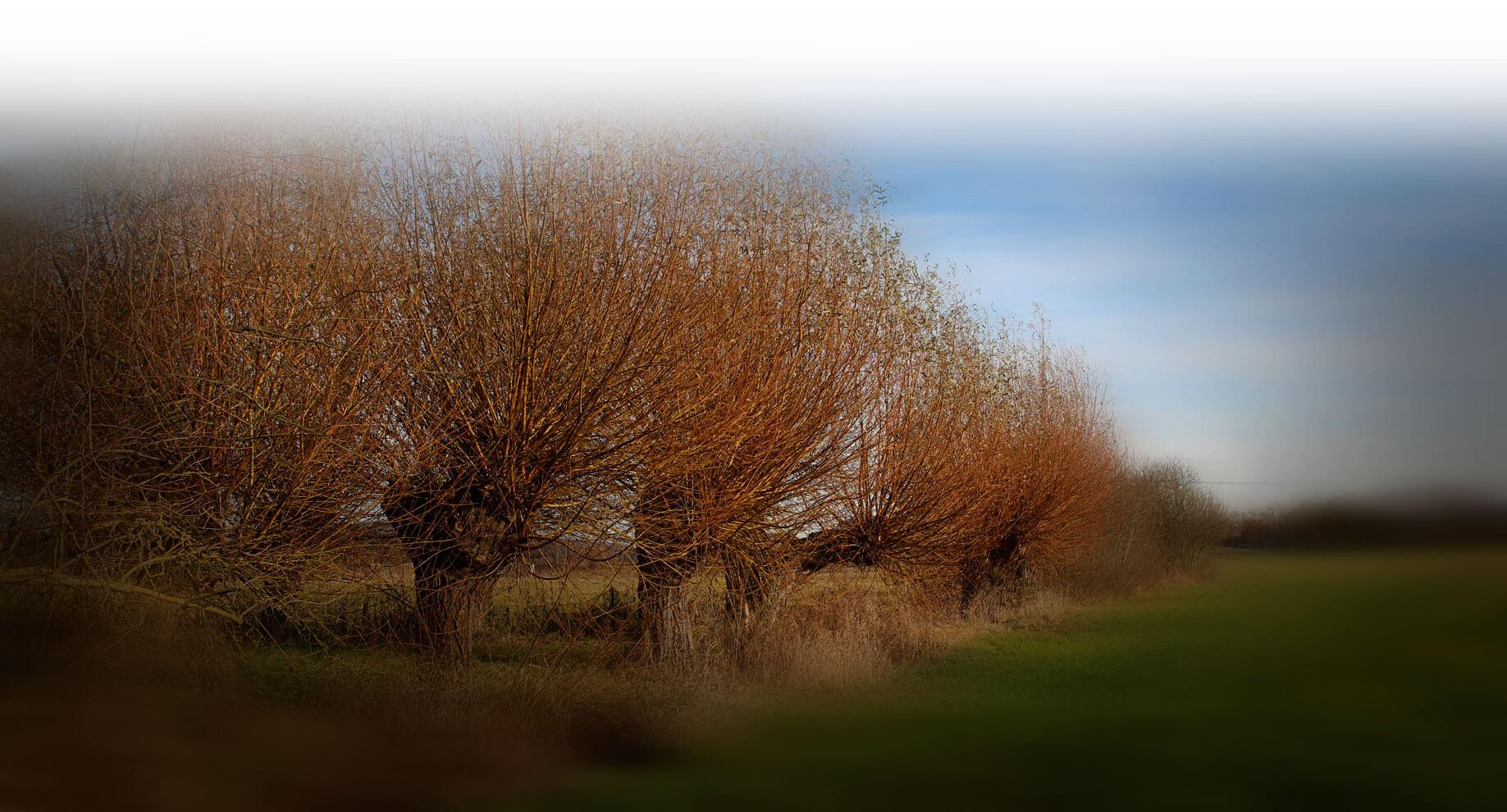 Weiden am Bach - Schwarze Weide